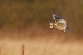 Silent hunter, short eared owl Stock Photos