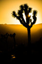 Silhouet van joshua trees during sunset Royalty-vrije Stock Fotografie