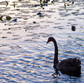 Silhouette of an Australian Black Swan Royalty Free Stock Photo