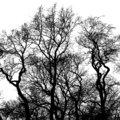 Silhouette of bare trees, black interlaced branches