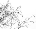 Silhouette of birch branches in winter season Royalty Free Stock Photos