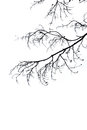 Silhouette branch white background