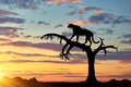 Silhouette of a cheetah in a tree Royalty Free Stock Photo