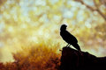 Silhouette Of A Crow On Stone ...