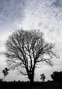 Silhouette dry tree mortality which can be found in rice thailand Stock Photo