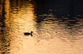 Silhouette of Duck Swimming in a Golden Pond as the Sun Sets Royalty Free Stock Photo