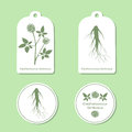 Silhouette of eleutherococcus senticosus with leaves. Medicinal plant. Healthy lifestyle. Vector Illustration. Tags