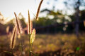 Silhouette flower blade of grass field sunlight rim light. Royalty Free Stock Photo