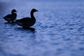 Silhouette of geese on blue water two greylag are seen standing a lake looking over the beautiful Royalty Free Stock Images