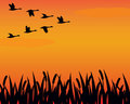 Silhouette geese and marsh Royalty Free Stock Photography