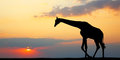Silhouette of a giraffe Royalty Free Stock Photo