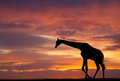 Silhouette of a giraffe against beautiful sunset Stock Image