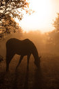 Silhouette of a grazing Arabian horse in heavy fog Stock Image