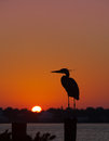 Silhouette of great blue heron at sunrise stands on piling on inter coastal in florida in Royalty Free Stock Photography
