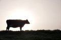 Silhouette of jersey cow and pasture west coast new zealand Stock Photo