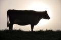 Silhouette of jersey cow on pasture west coast new zealand Royalty Free Stock Photos
