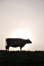 Silhouette of jersey cow on pasture west coast new zealand Royalty Free Stock Photography
