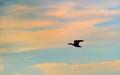 Silhouette of mallard duck Royalty Free Stock Photo