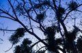 Silhouette of nude tree branches in blue twilight sky Royalty Free Stock Photo