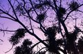 Silhouette of nude tree branches in colorful pink violet sunset sky Royalty Free Stock Photo