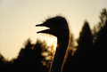 Silhouette of ostrich in the sunset Stock Photos