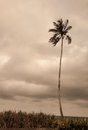 Silhouette of a palm tree standing alone against cloudy horizon Royalty Free Stock Photo