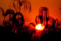 Silhouette of papyrus at sunset the black plants are seen against the red the okavango delta in botswana Stock Image