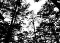 Silhouette pine trees vector illustration, forest wallpaper back