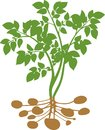 Silhouette of potato plant with tubers Royalty Free Stock Photo