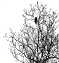 Silhouette ravens on tree Royalty Free Stock Photo
