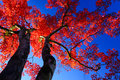 Silhouette Red maple tree on blue sky Royalty Free Stock Photo
