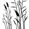 Silhouette of the reed on white background