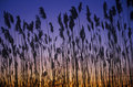 Silhouette Of Reeds In Marsh A...