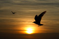 Silhouette of seagull Royalty Free Stock Photo