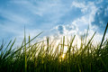silhouette shot image of Grass and sky in shiny day Royalty Free Stock Photo