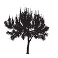 Silhouette of the southern pine with young escapes on a white ba