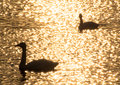 Silhouette of swans in the sunset shining lake Stock Photography
