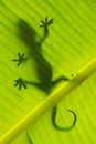 Silhouette of tokay gecko on a palm tree leaf, Ang Thong Nationa Royalty Free Stock Photo