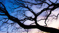 Silhouette of a tree branches from after sundown Royalty Free Stock Photo