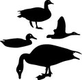 Silhouette of wild duck Stock Photo