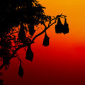 Silhouetted fruit bat on tree at sunset Royalty Free Stock Photo