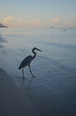 Silhouetted Great Blue Heron at Dawn Royalty Free Stock Photo