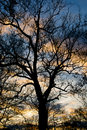 Silhouetted Tree Royalty Free Stock Photo