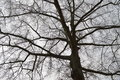 Silhouetted tree branches with gray sky in the background Royalty Free Stock Photo