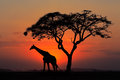 Silhouetted tree and giraffe Royalty Free Stock Photo