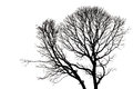 Silhouettes of Dead Tree without Leaves Royalty Free Stock Photo