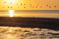 Silhouettes of flock of geese flying across orange sky at sunset Royalty Free Stock Photo