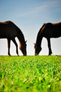 Silhouettes of two horses grazing on the green pasture. Royalty Free Stock Photo