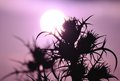 Silhouettes of wild thistles at sunrise in full bloom colored effect photography Royalty Free Stock Photos