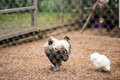 A silk chicken rooster in a coop behind a metallic fence Royalty Free Stock Photo